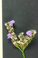 Photographie n°bb028385 du taxon