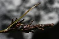 Photographie n°bb032019 du taxon