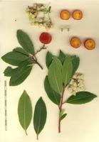Photographie n°bb033911 du taxon