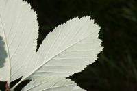 Photographie n°bb039497 du taxon