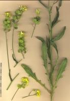 Photographie n°bb056352 du taxon