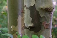 Photographie n°co000220 du taxon