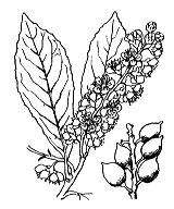 Photographie n°1096.png du taxon