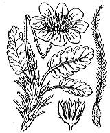 Photographie n°1101.png du taxon