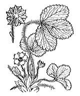 Photographie n°1122.png du taxon