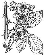 Photographie n°1174.png du taxon