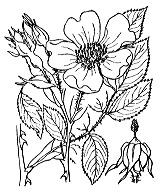 Photographie n°1211.png du taxon