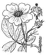 Photographie n°1212.png du taxon