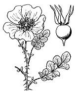 Photographie n°1213.png du taxon