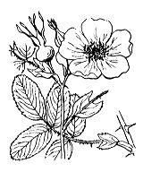Photographie n°1215.png du taxon
