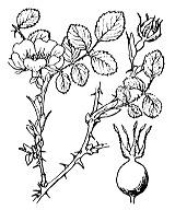 Photographie n°1217.png du taxon