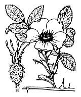 Photographie n°1223.png du taxon