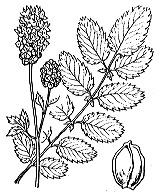 Photographie n°1239.png du taxon