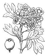 Photographie n°1253.png du taxon