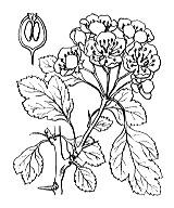 Photographie n°1255.png du taxon