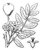Photographie n°1266.png du taxon
