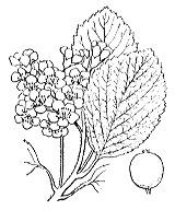 Photographie n°1270.png du taxon