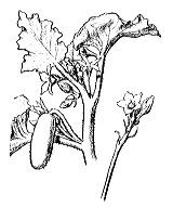 Photographie n°1325.png du taxon