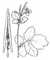 Photographie n°134.png du taxon