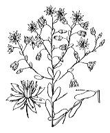 Photographie n°1364.png du taxon