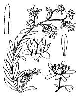 Photographie n°1432.png du taxon