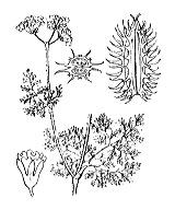 Photographie n°1478.png du taxon