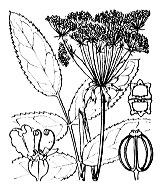 Photographie n°1588.png du taxon