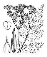 Photographie n°1630.png du taxon