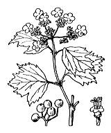 Photographie n°1649.png du taxon