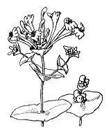 Photographie n°1652.png du taxon