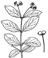 Photographie n°1659.png du taxon