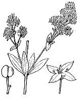 Photographie n°1666.png du taxon