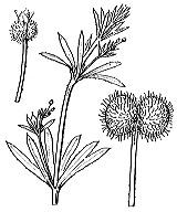 Photographie n°1673.png du taxon