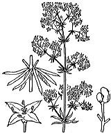 Photographie n°1691.png du taxon