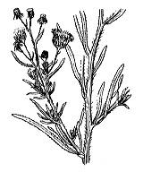 Photographie n°1797.png du taxon