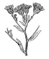 Photographie n°1803.png du taxon