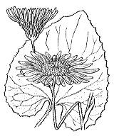 Photographie n°1811.png du taxon