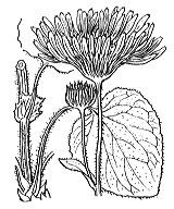 Photographie n°1812.png du taxon