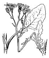 Photographie n°1828.png du taxon