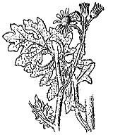 Photographie n°1830.png du taxon
