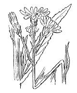 Photographie n°1840.png du taxon