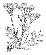 Photographie n°1903.png du taxon