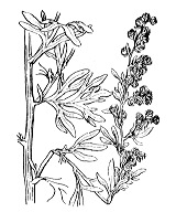 Photographie n°1906.png du taxon