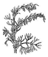 Photographie n°1921.png du taxon