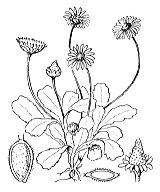 Photographie n°1926.png du taxon