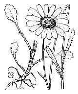 Photographie n°1939.png du taxon