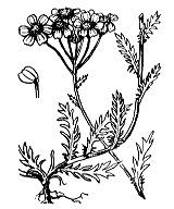 Photographie n°1974.png du taxon