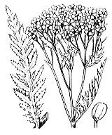 Photographie n°1977.png du taxon
