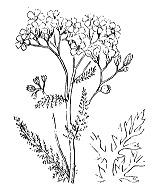 Photographie n°1979.png du taxon
