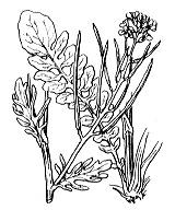 Photographie n°198.png du taxon